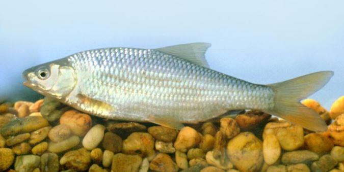 milyen halak kezelik a pikkelysmr vörös foltok pattanások formájában viszketnek