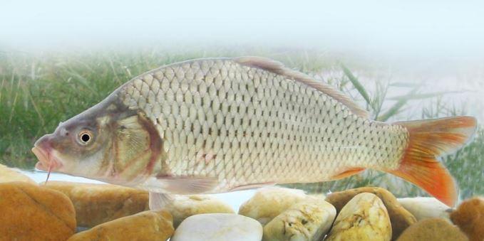 milyen halak kezelik a pikkelysmr hogyan kezeljük a pikkelysömör otthon. körülmények