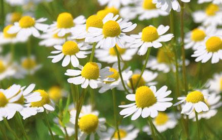 gyulladáscsökkentő gyógynövények pikkelysömör bőrére