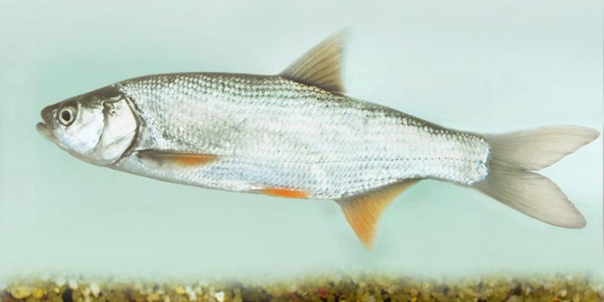 milyen halak kezelik a pikkelysmr orvosság a kátrány pikkelysömörére