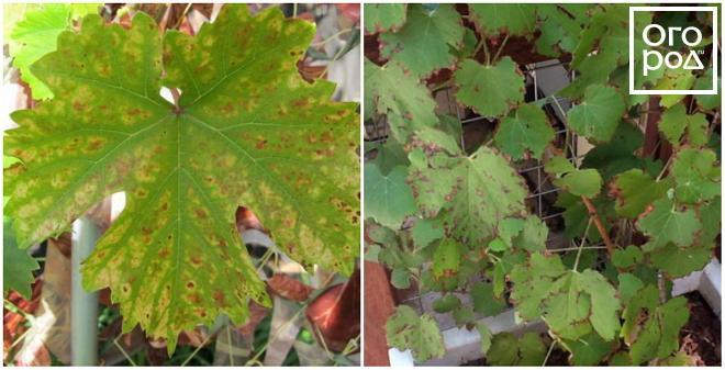 szőlő vörös foltok a leveleken hogyan kell kezelni vörös foltok jelentek meg a combon és viszketnek